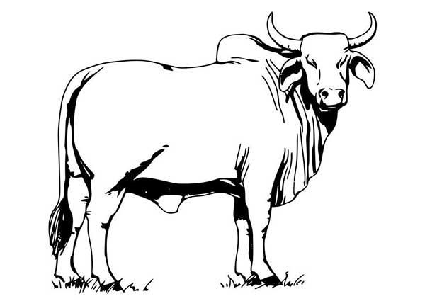 taureau de boeuf